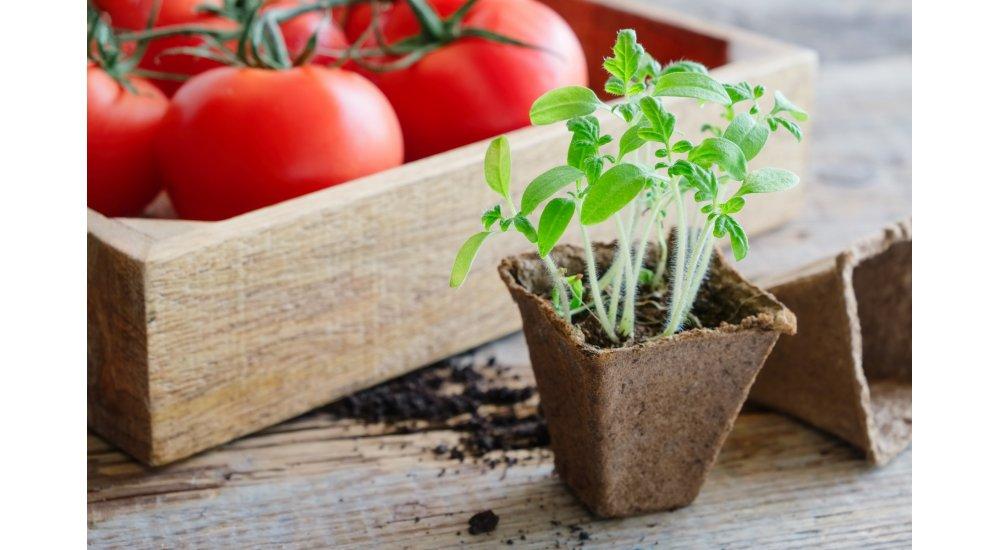 Forspiring af tomat