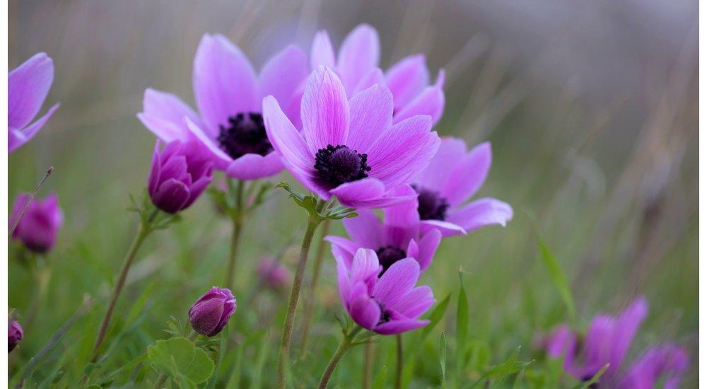 Dyrk fransk anemone