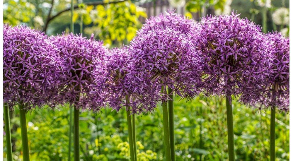 Elskede Allium