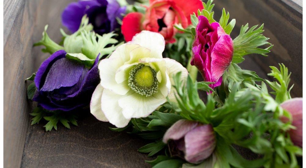 Dyrk franske anemoner