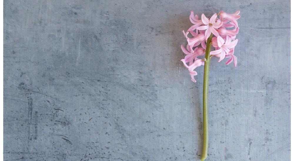 Dyrk hyacinter