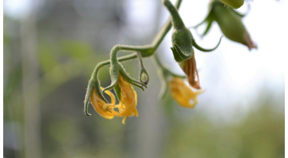Visne blomster på tomat